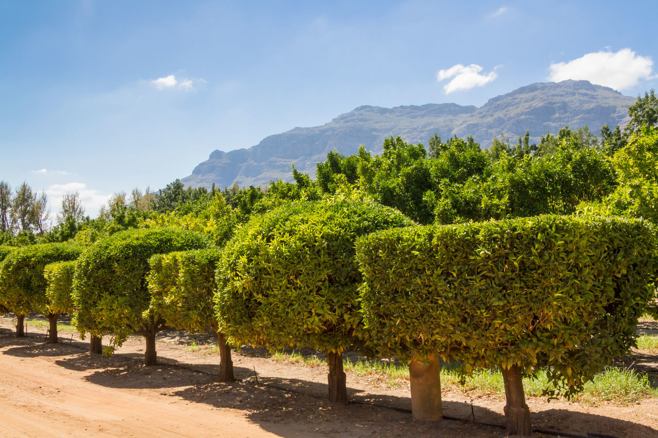 Citrus fruit trees Beauty In Nature Cape Town Citrus Fruit Day Green Color Growing Landscape Mountain Nature No People Orchard Outdoors Scenics Sky South Africa Stellenbosch Tree Trees