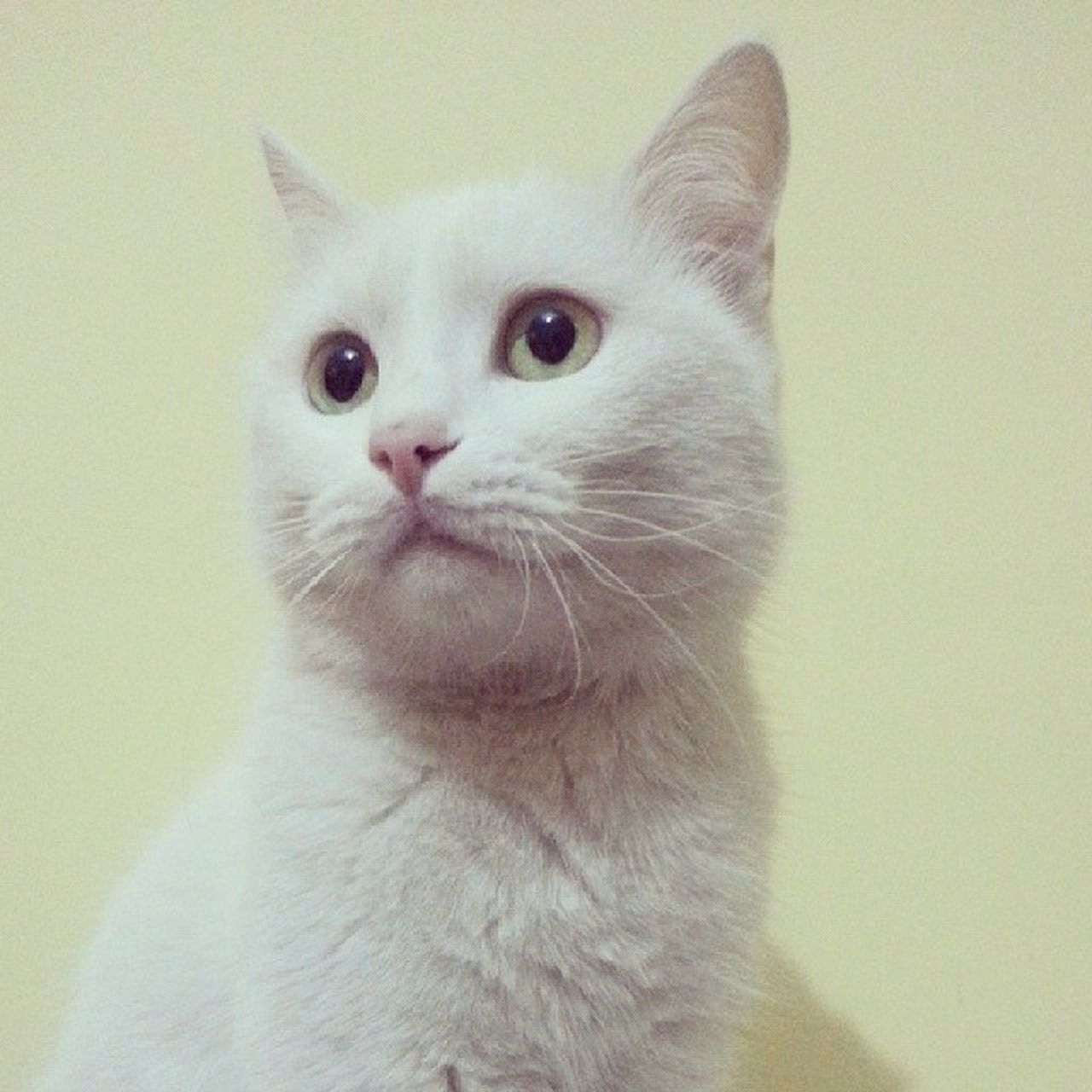 Efes Cat White Pamık
