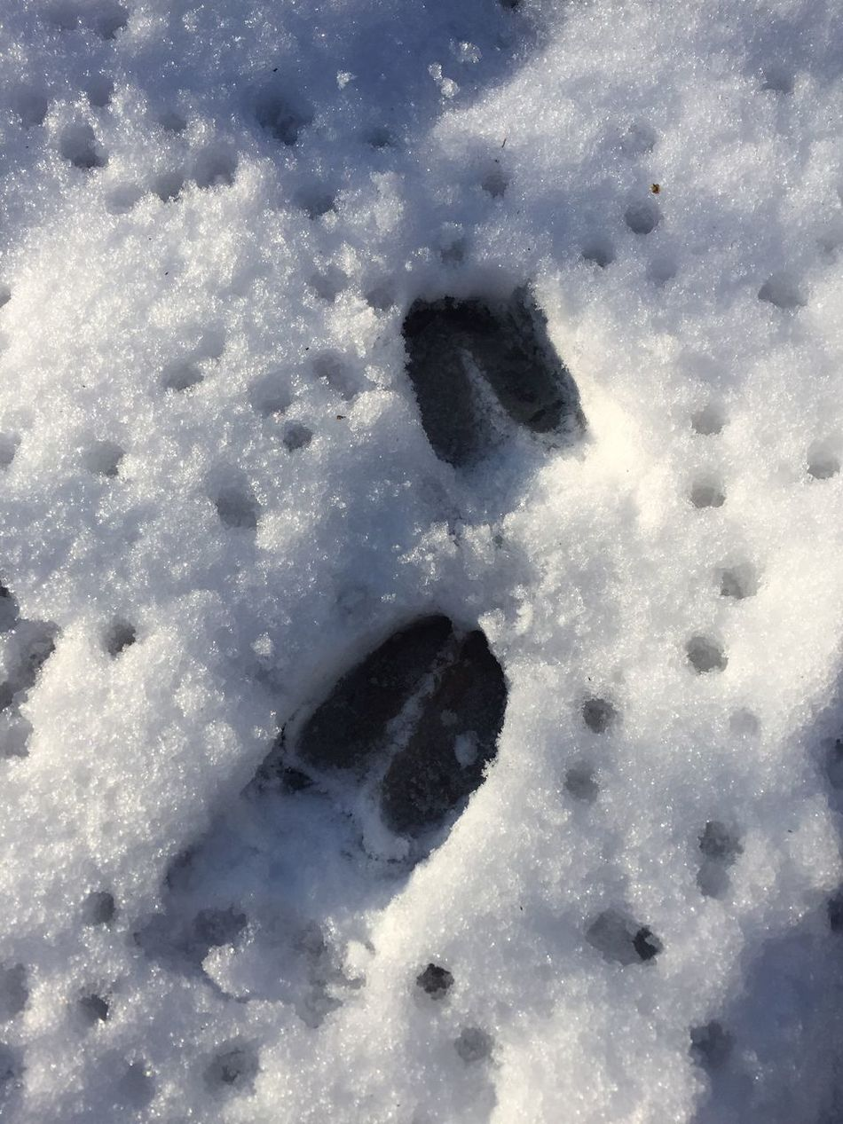 Nature Snow Winter Paw Print Animal Track Beauty In Nature Outdoors Close-up Deer Deer Tracks