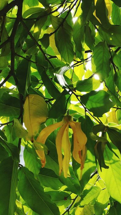 Ylangylang Perfume Lover Perfume Tree Good Smell Smellsgood Smelling The Flowers Nature Nature_collection Nature Photography Naturelovers