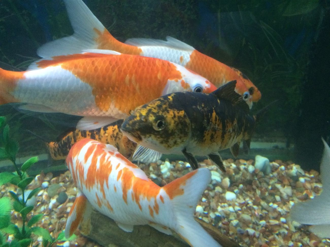 Acquarium Acquarium Park Goldfish Fish Tank FishEyeEm Fisheye EyeEmBestPics EyeEm Gallery Eye4photography  My Smartphone Life Taking Photos Enjoying Life Love U All From India With Love...
