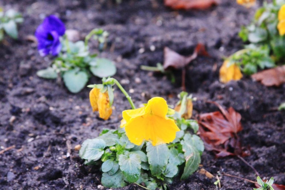 Flower Fragility Nature Growth Petal Plant Freshness Flower Head Beauty In Nature No People Outdoors Yellow Field Day Close-up Blooming Crocus