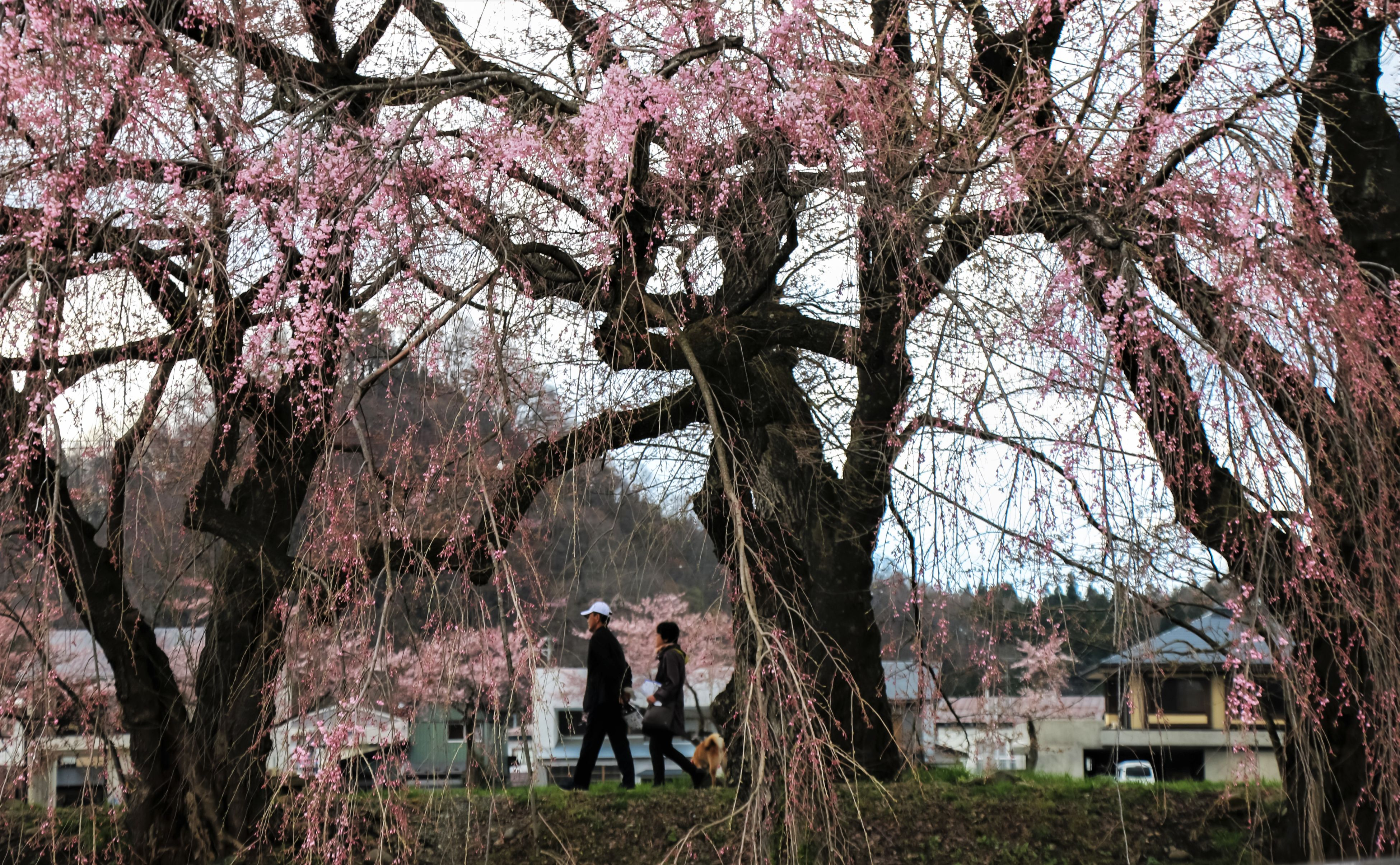 tree, branch, two people, growth, tree trunk, beauty in nature, flower, real people, nature, blossom, men, day, rear view, full length, outdoors, springtime, togetherness, standing, couple - relationship, built structure, scenics, sky, architecture, grass, freshness, people
