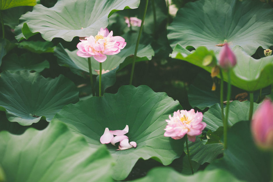 petals Taking Photos Lotus Tranquil Scene Getting Inspired Showcase July EyeEm Best Shots Summer EyeEm Nature Lover EyeEm Gallery Peace And Quiet Color Of Life Beauty In Nature Heaven Meets Earth