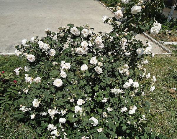 Bush Flowers Novorossiysk Roses Roses Shrub Shrub Roses Summer White & Green White Roses Rose Shrub