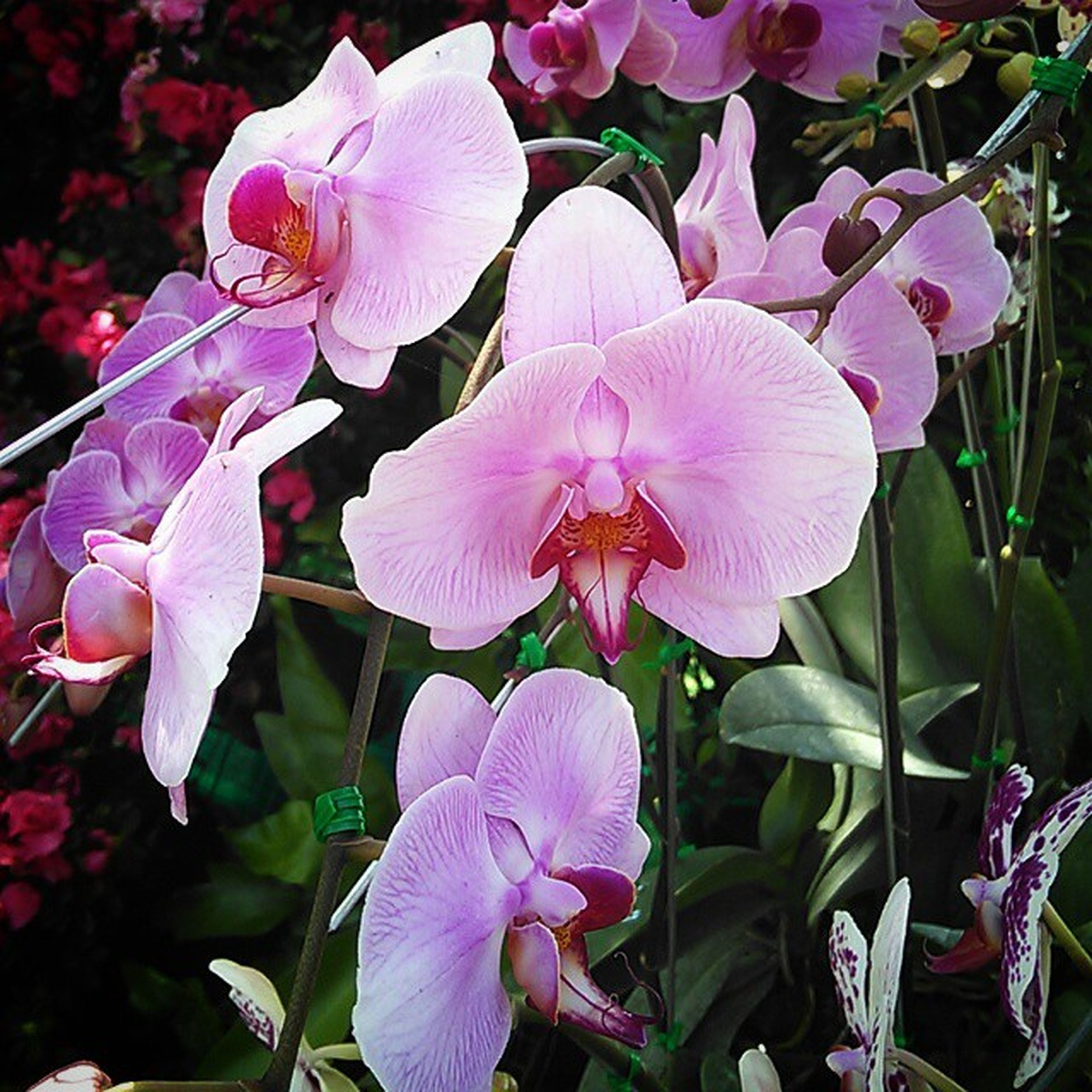 flower, petal, freshness, fragility, flower head, growth, beauty in nature, blooming, nature, pink color, close-up, plant, purple, orchid, in bloom, leaf, focus on foreground, stamen, park - man made space, blossom