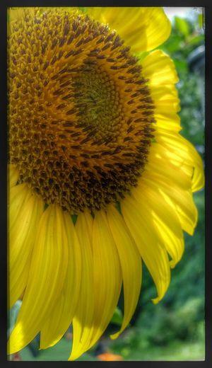 Sunflower volunteer from the bird feeders