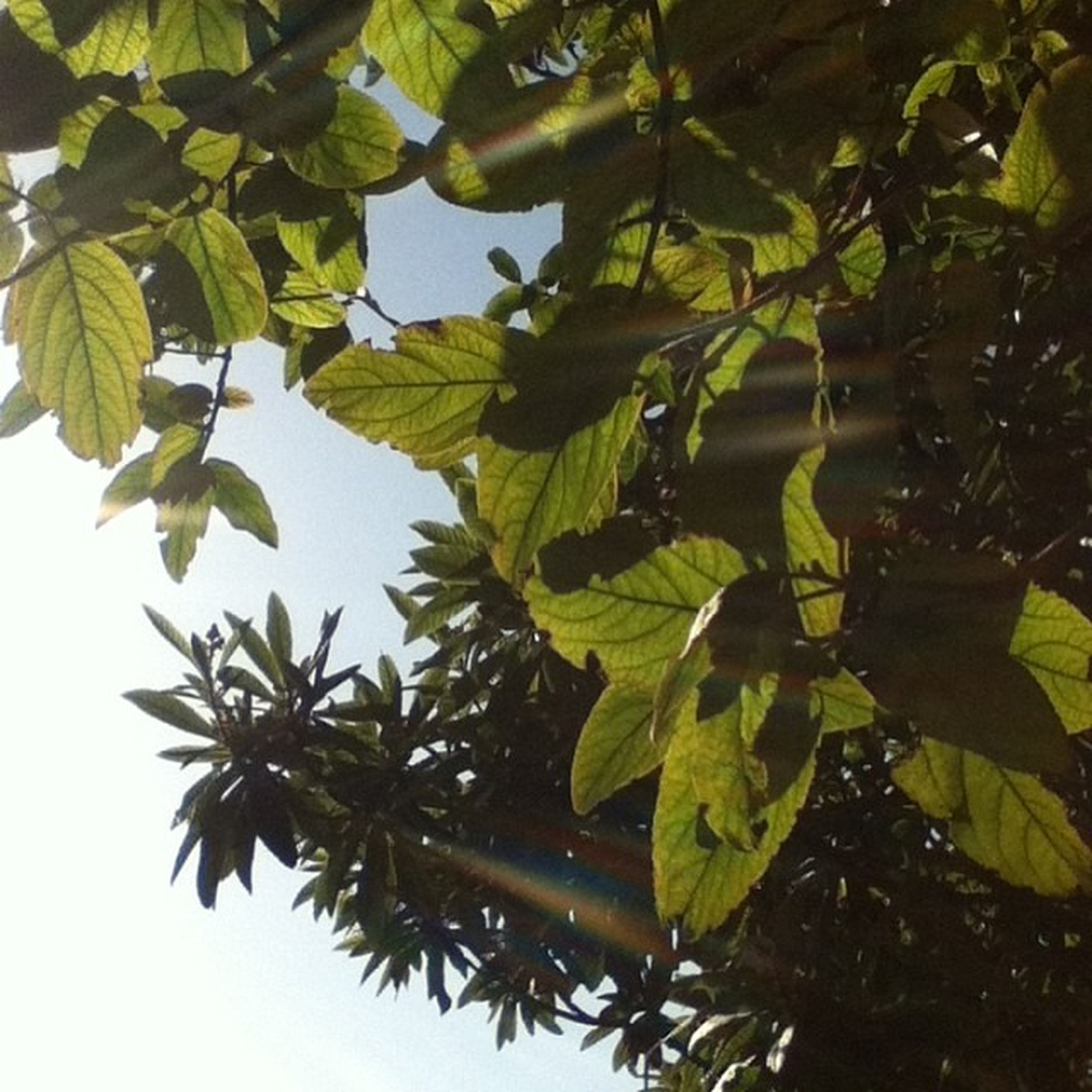 leaf, tree, low angle view, green color, growth, branch, nature, leaves, clear sky, close-up, day, tranquility, sunlight, outdoors, sky, no people, plant, beauty in nature, focus on foreground, green