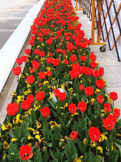 Urban Spring Fever Tehran Iran Flowers Unpredictable Red