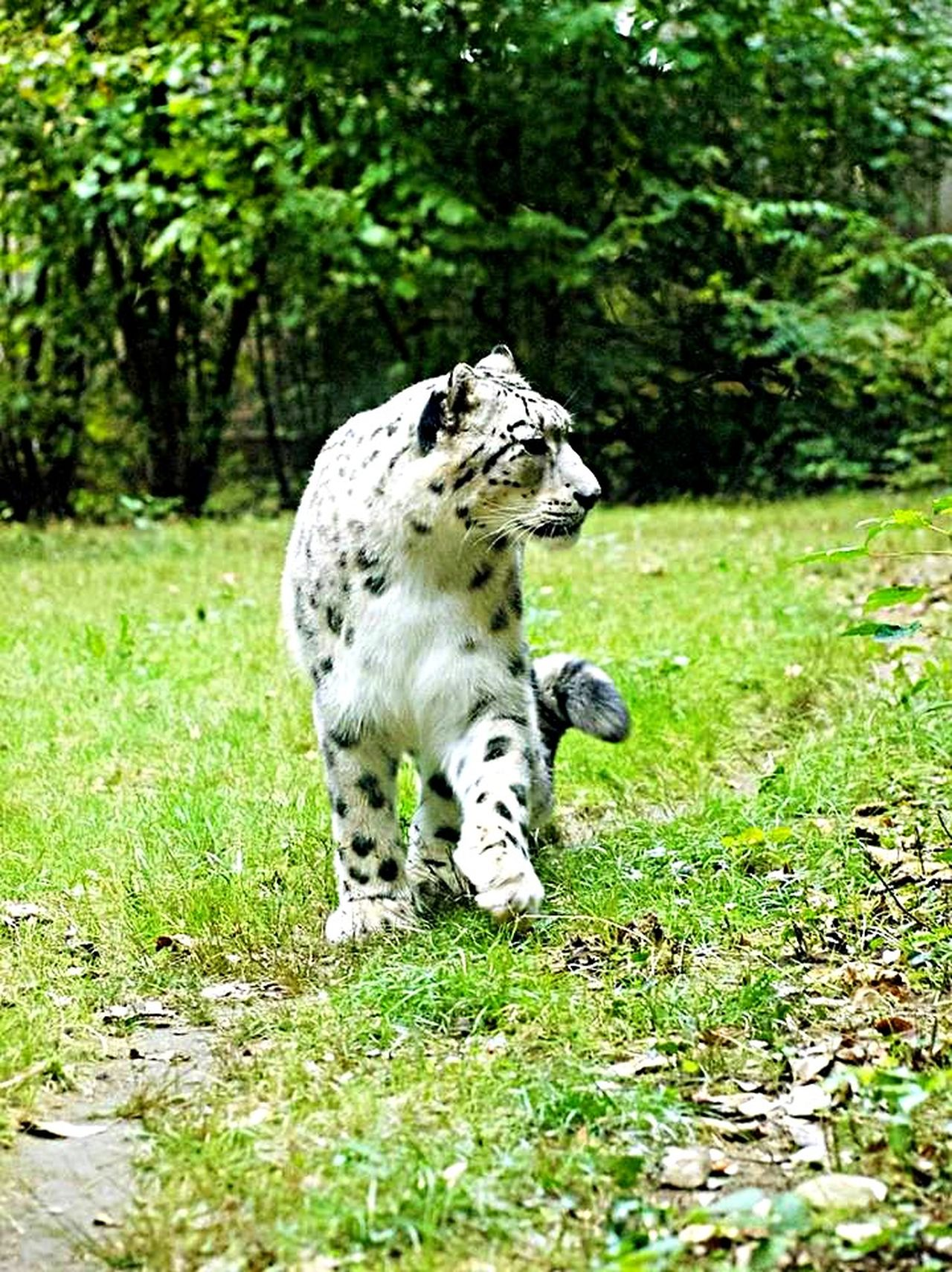 The snow leopard is absolutely magnificent. It represents really what endangered species are all about. Leopard Animals Animal Animal_collection Nature Nature_collection EyeEm Nature Lover Taking Photos EyeEm Best Shots From My Point Of View