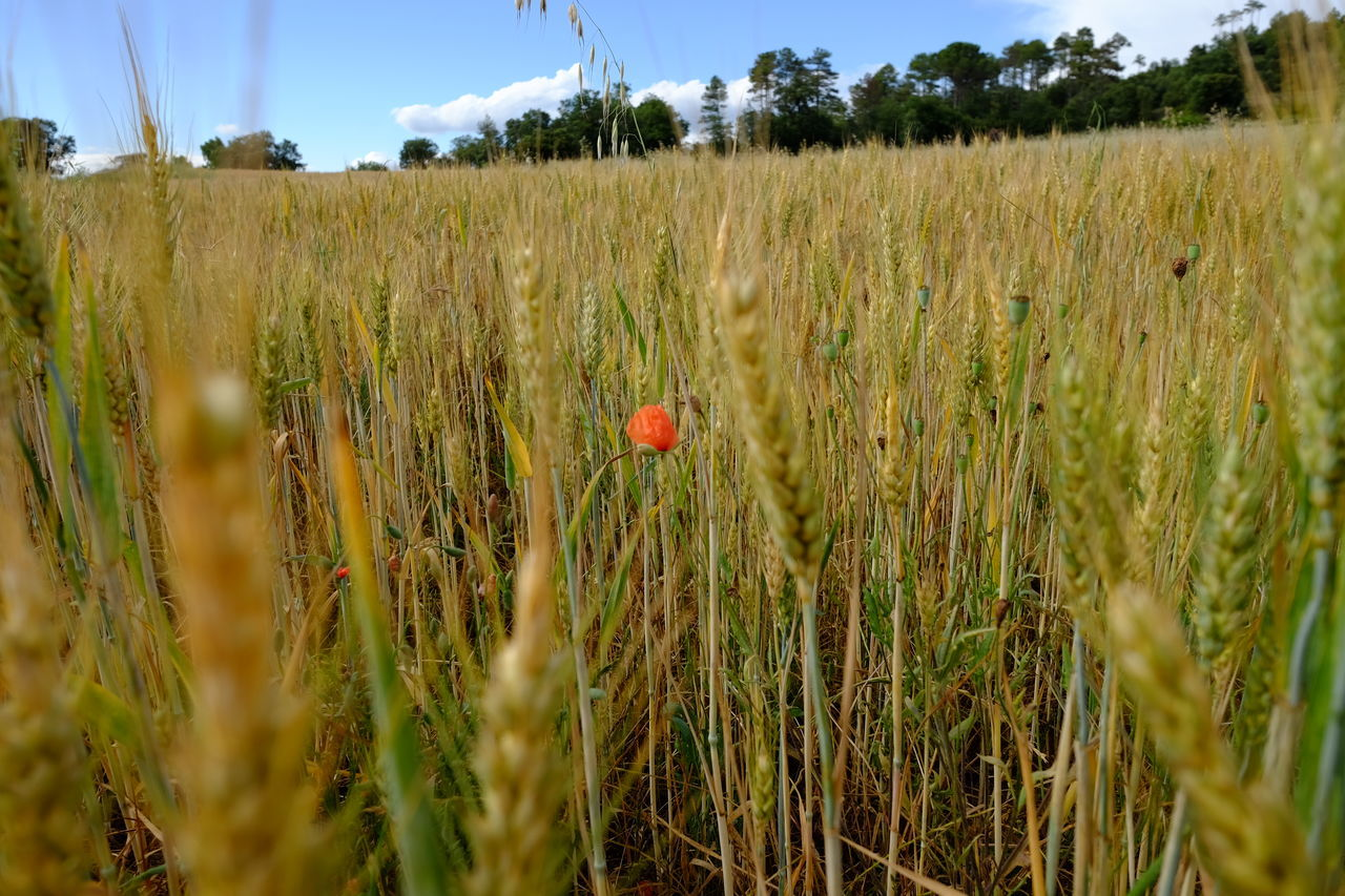 Wheat ready for the harvest Close-up Ear Of Wheat Field Growth Nature No People Outdoors Plant Poppy Wheat Wheat Field