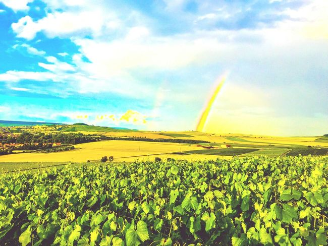 Vivelafrance Nature_perfection Naturelovers Nature Photography EyeEm Nature Lover Best EyeEm Nature Nature_collection Wine France Wine Grapes Green Grapes Champagne Grapes Blue Sky And Clouds Nopeople Rainbow Champagne No People Champagne Region