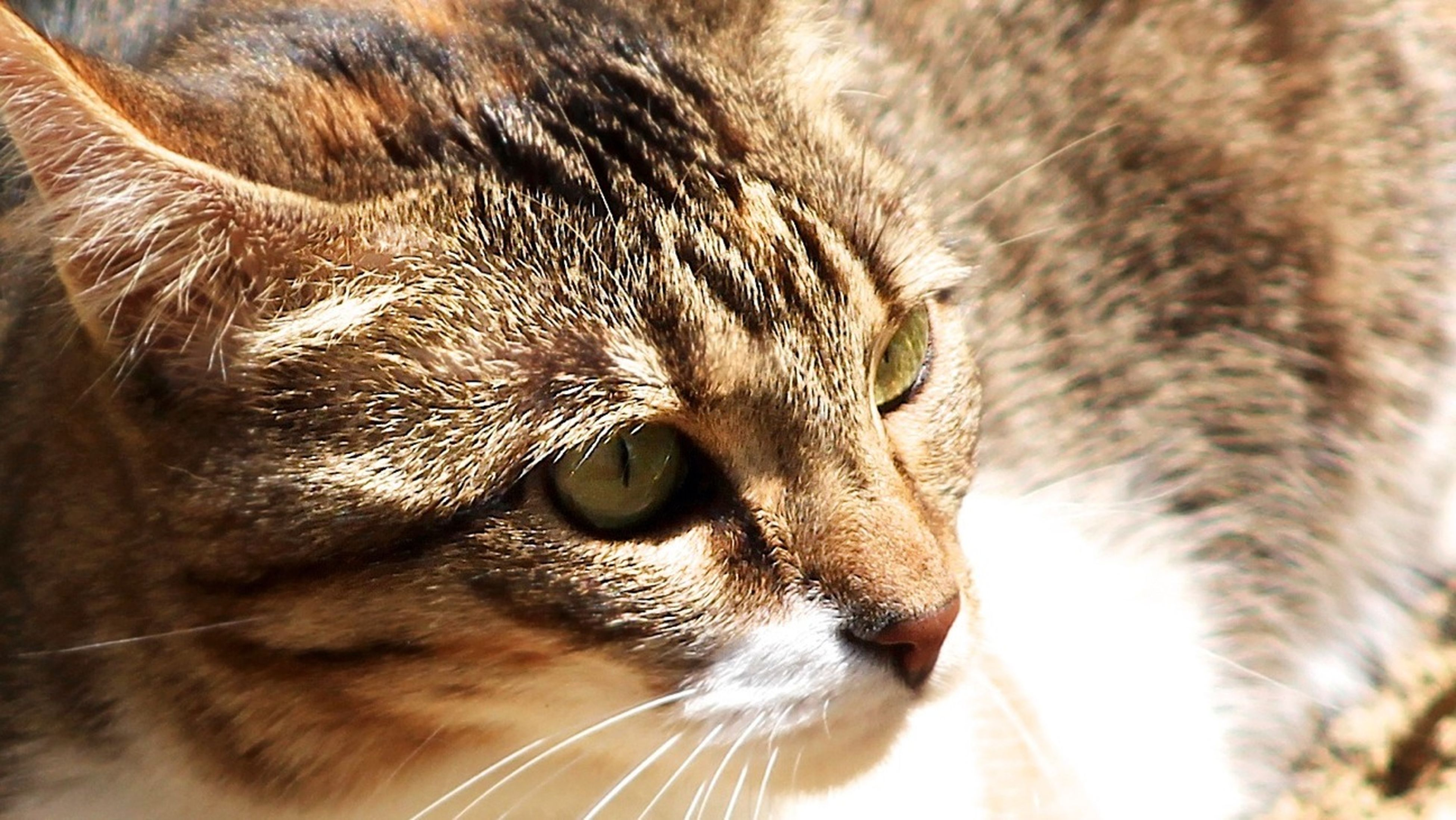 one animal, animal themes, mammal, animal head, animal eye, animal body part, whisker, pets, domestic cat, close-up, domestic animals, feline, cat, part of, portrait, looking at camera, alertness, wildlife, staring