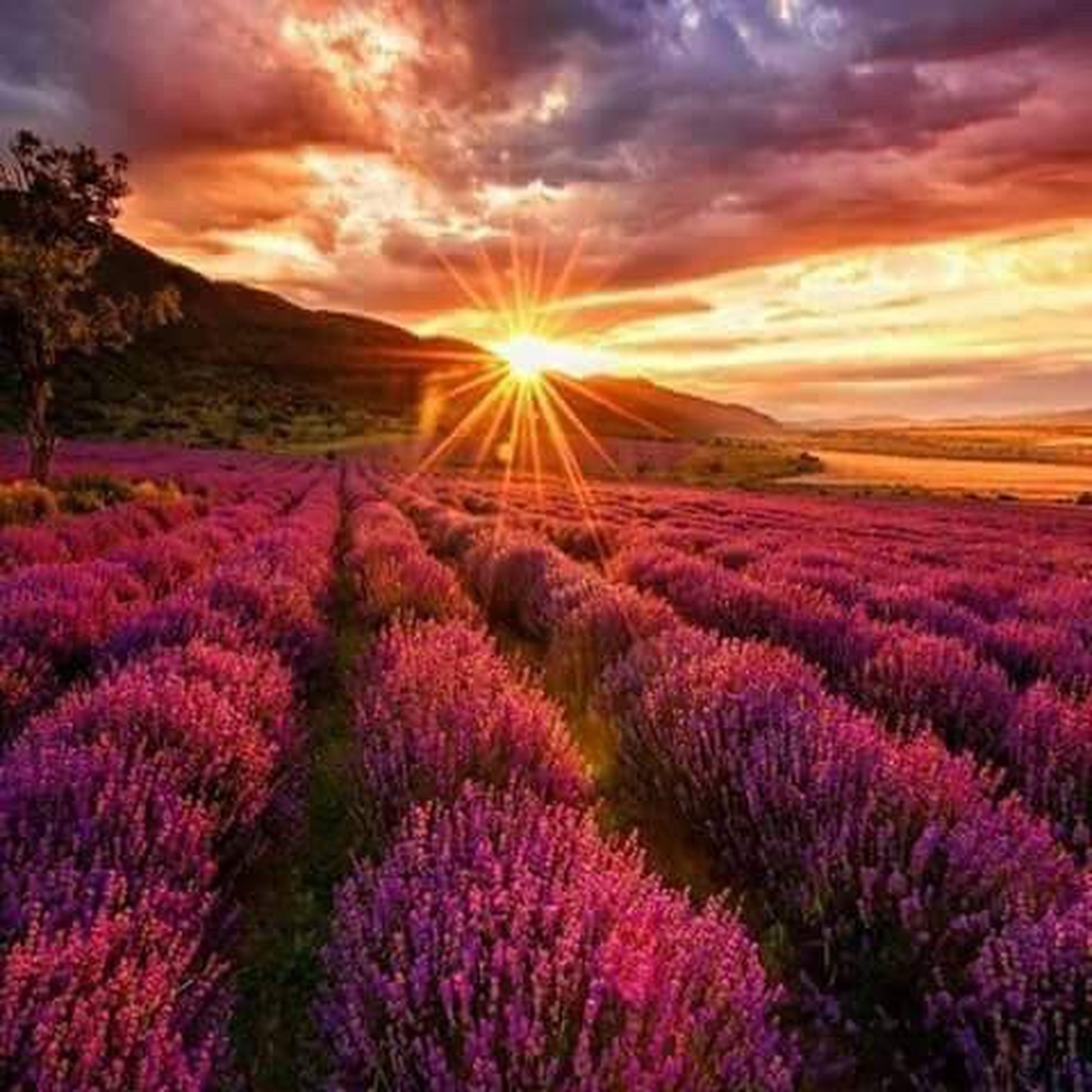 sunset, flower, purple, beauty in nature, dramatic sky, cloud - sky, pink color, scenics, nature, flower head, landscape, sunlight, plant, red, romantic sky, sun, sky, field, no people, outdoors, freshness, close-up
