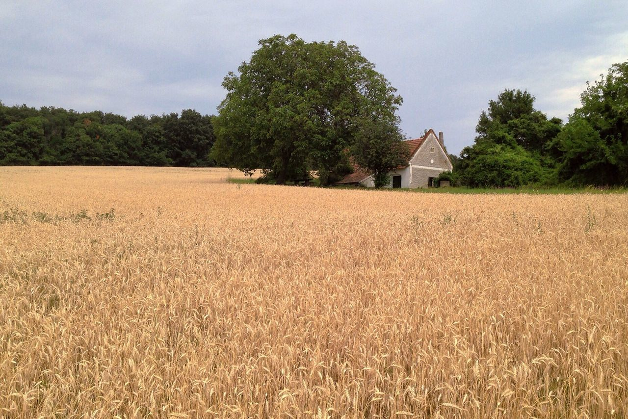 House Amidst Trees In Wheat Field Against Sky