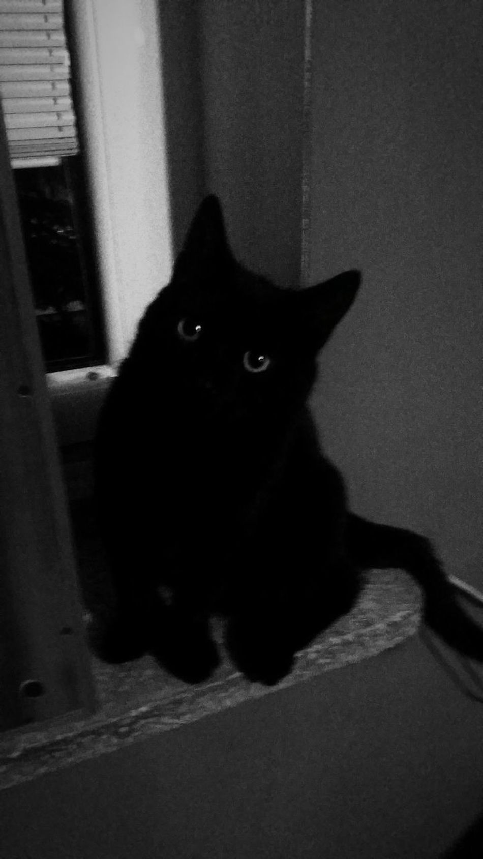 Pets One Animal Looking At Camera Cute Portrait Day BLackCat Cameleon Effect