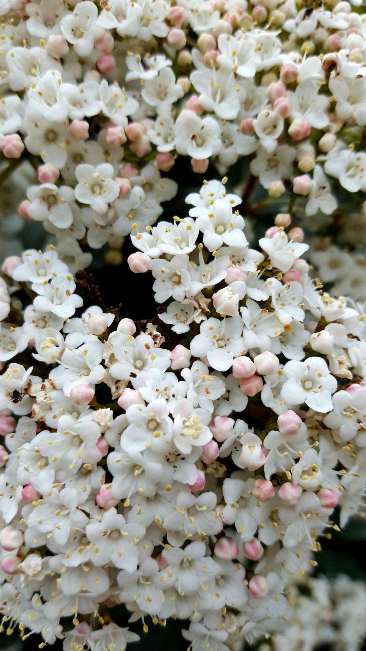 Sweet March... Nature Flower Growth Beauty In Nature Petal Outdoors No People Flower Head Sweet Memories Sweet Nature March Freshness Fragility White White Flower White Color White Flowers Whitandpink My Garden My Garden @my Home Blossom Blossoms  Blossoming  Blossom Flowers