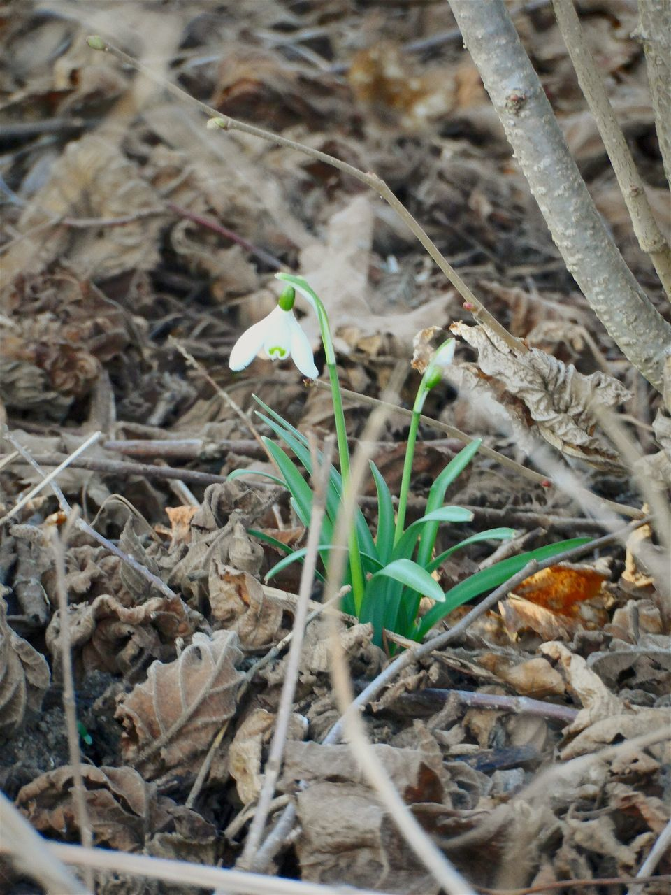 Close-Up Of White Snowdrop Flower With Fallen Leaves