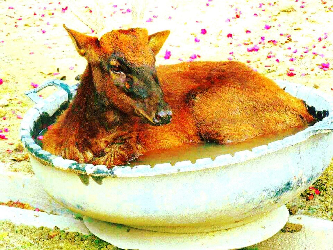 43 Golden Moments Fine Art Photography Deer Doe Nature Bath Tub Chilling Bathtime Bathing Relaxing Relaxing Deer Beutiful  Cute Potted Weird Showcase July