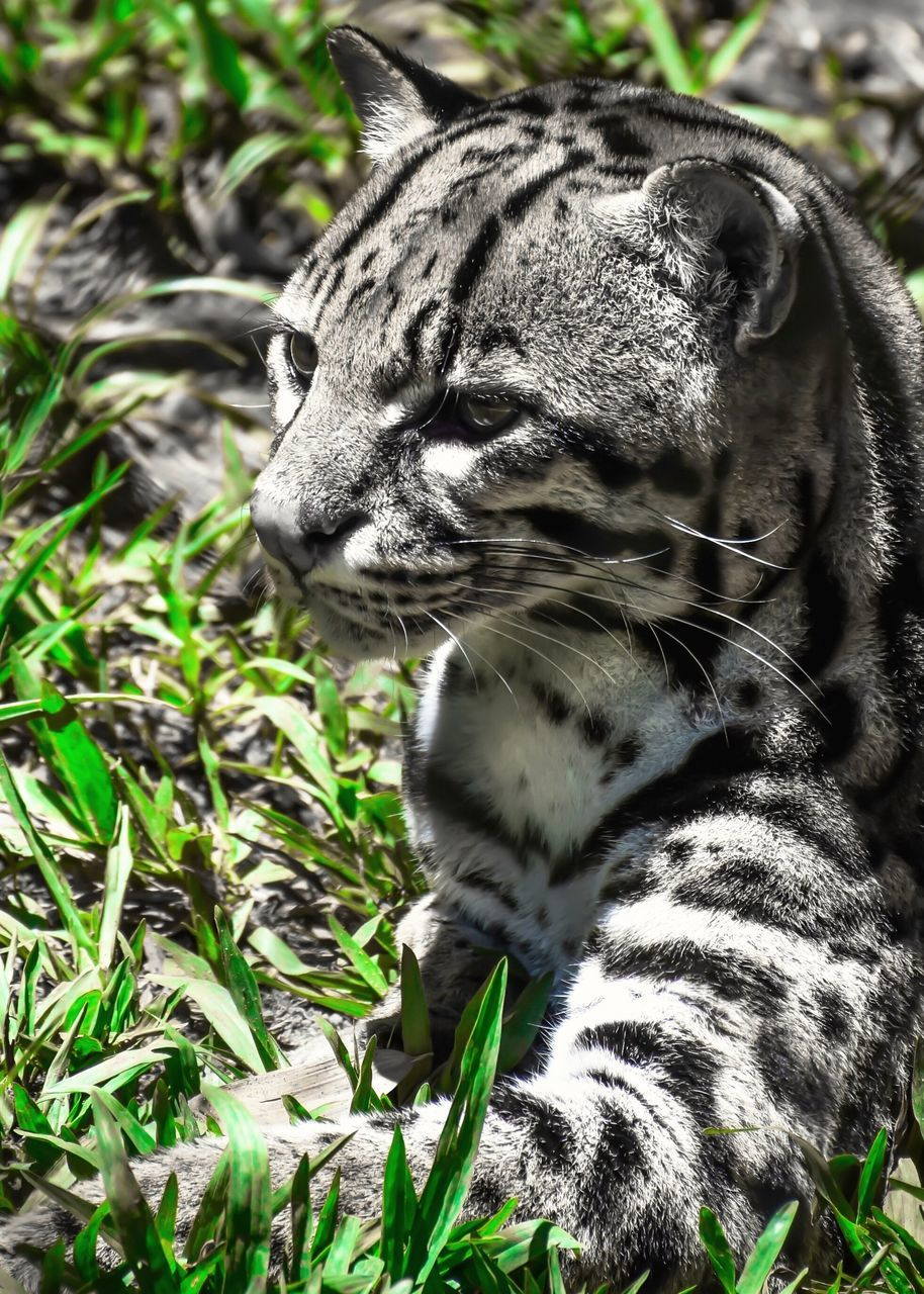 Close-Up Of Ocelot Relaxing On Grassy Field