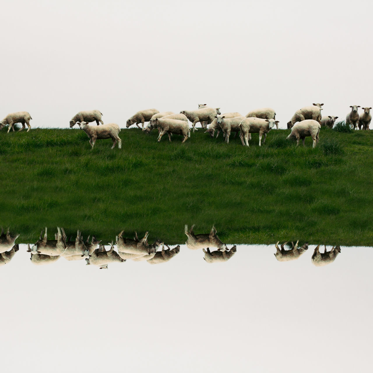 Sheeps Ostfriesland Large Group Of Animals animal wildlife animal outdoors group of animals Animals in the Wild landscape Livestock Nature no people sheep domestic animals animal themes day art ArtWork Photomanipulation flipped reflections Wanderlust POTD picoftheday photooftheday sky BYOPaper! The Great Outdoors - 2017 EyeEm Awards
