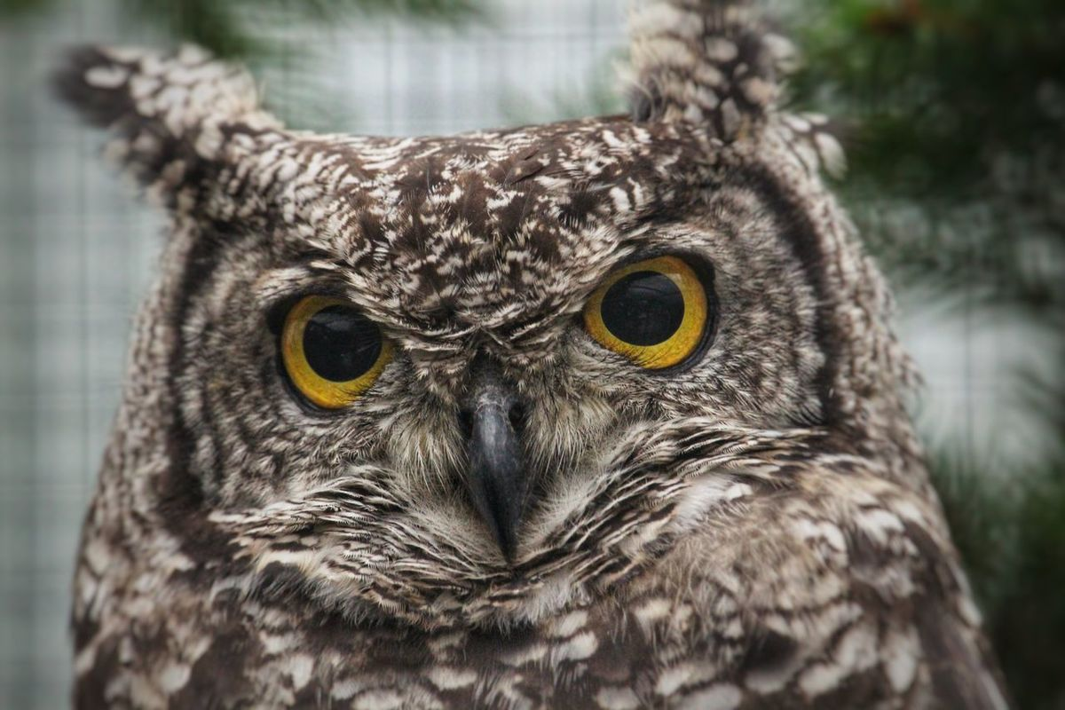 Eagle Owl  Falconry Hunter Animal Themes Animal Wildlife Animals In The Wild Beak Bird Bird Of Prey Close-up Dangerous Feather  Focus On Foreground Looking At Camera Nature Night No People One Animal Owl Portrait Silent Hunter Silent Moment Staring Wise Yellow Eyes