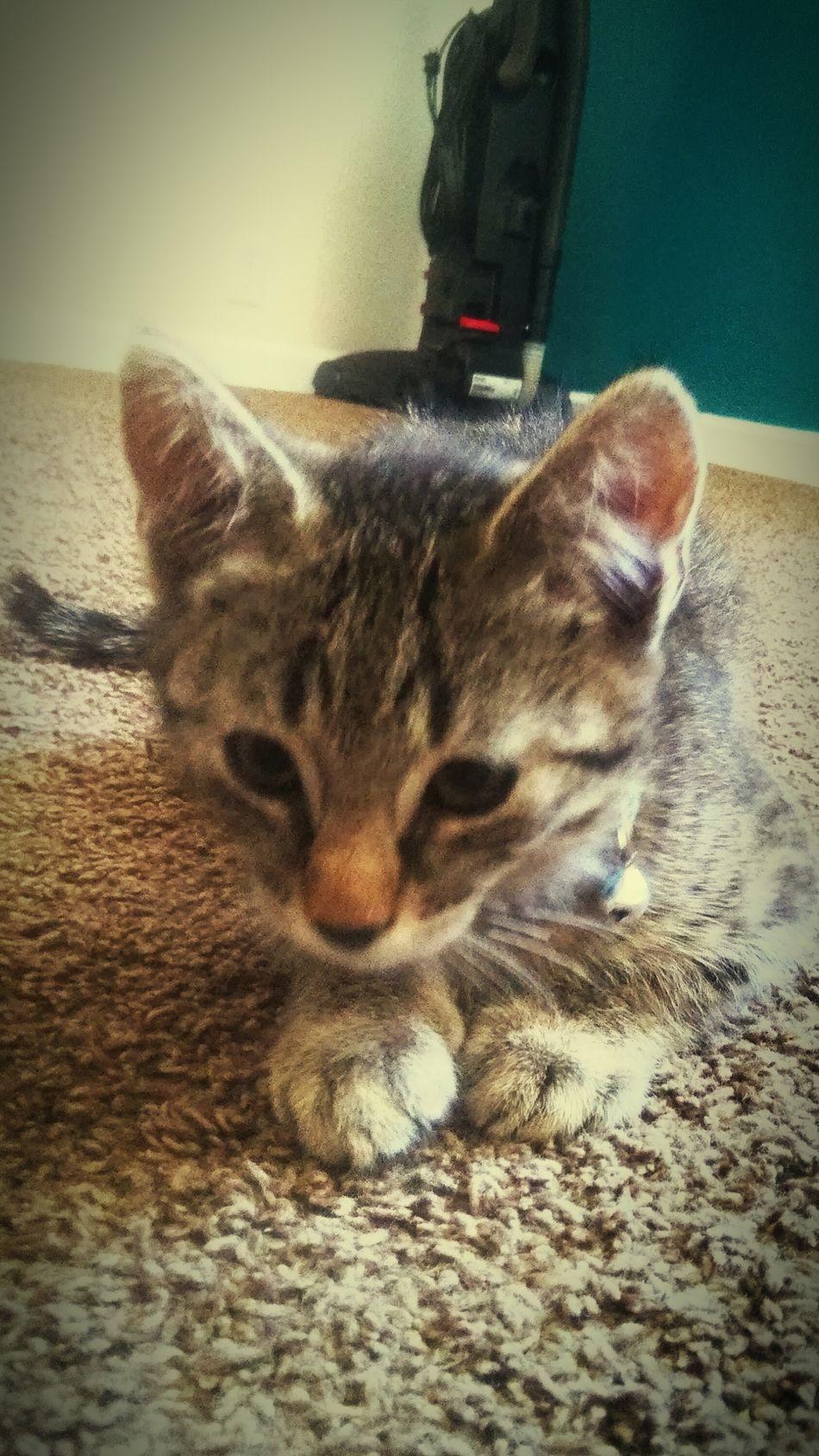 Kitty Kitten 🐱 Love ♥ Kitty Cats  Kitty Cuddles Adorable Cat  Cuteeee♥♡♥ Baby Boy TabbyCat Strongmarkings Mouser Gotchacatchmice My Baby Boy Mr.meowgi