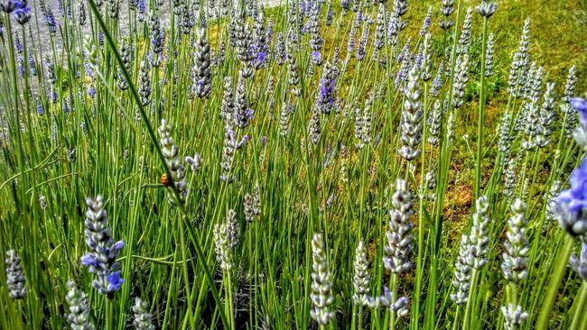Taking Photos Gods Art Lavenderflower Bee 🐝 Bee Food My Morning View Summertime Botany Botanical Gardens . My Garden 😊 Enjoying Life Purple Flower Labor Of Love Smelling The Flowers