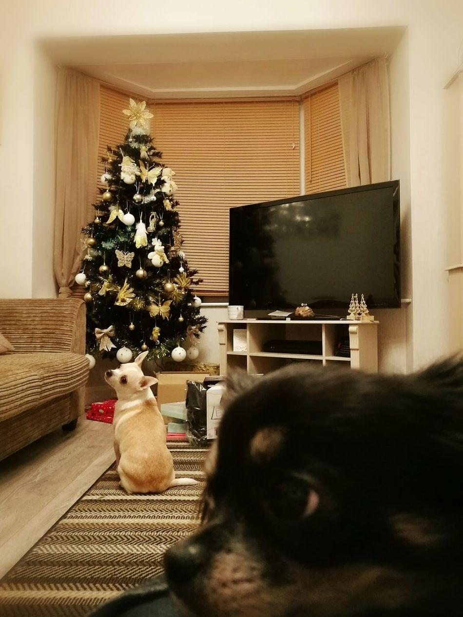 Chihuahua Chihuahua Love ♥ Christmas Christmas Tree Pets Living Room Christmas Day
