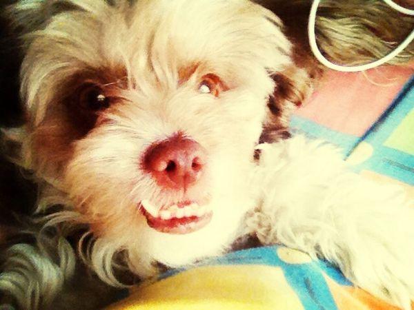 De llama linda Chile Dogs Perros
