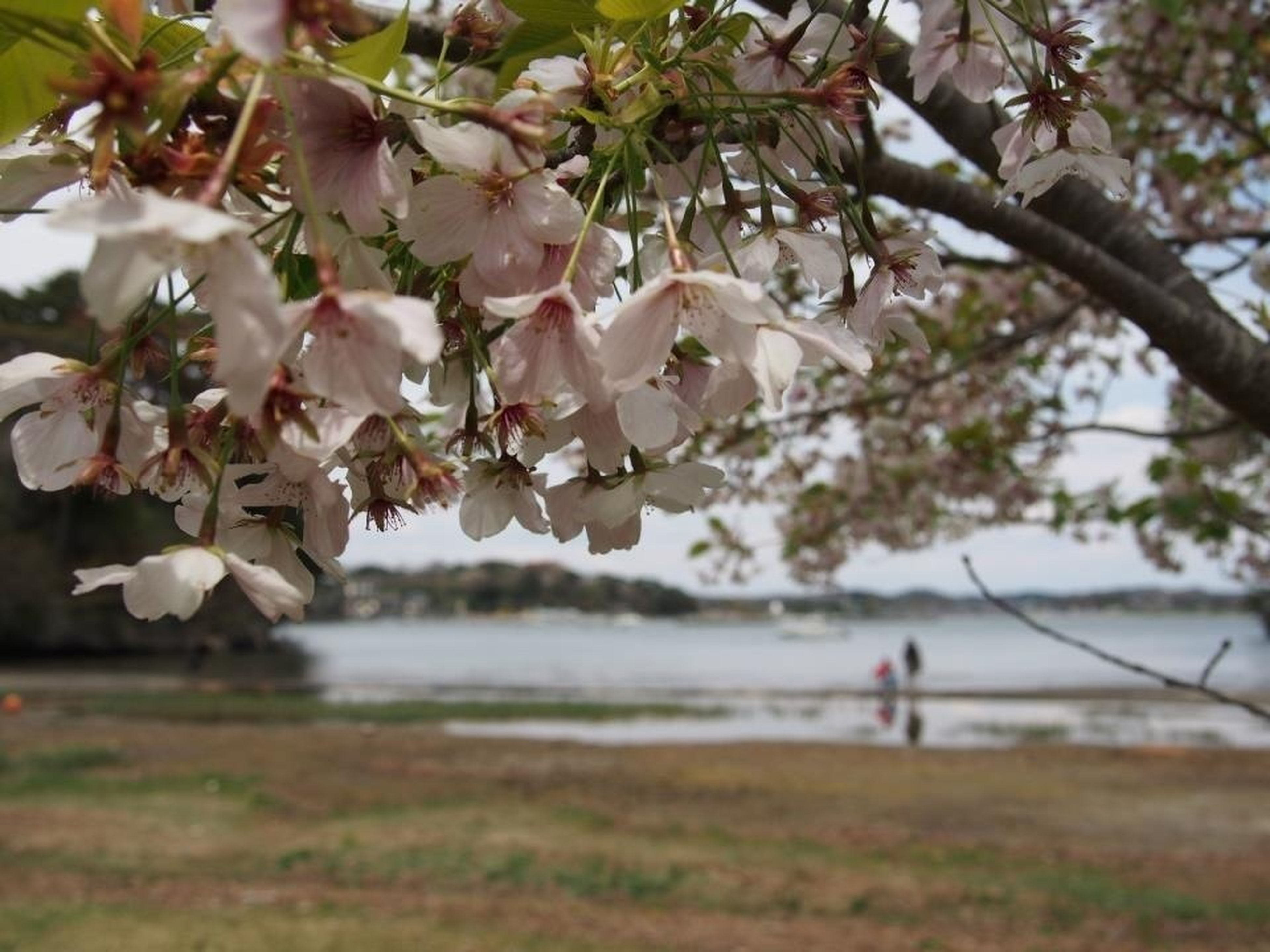 flower, tree, branch, freshness, growth, beauty in nature, nature, cherry blossom, focus on foreground, fragility, blossom, cherry tree, water, day, springtime, outdoors, park - man made space, in bloom, white color, twig