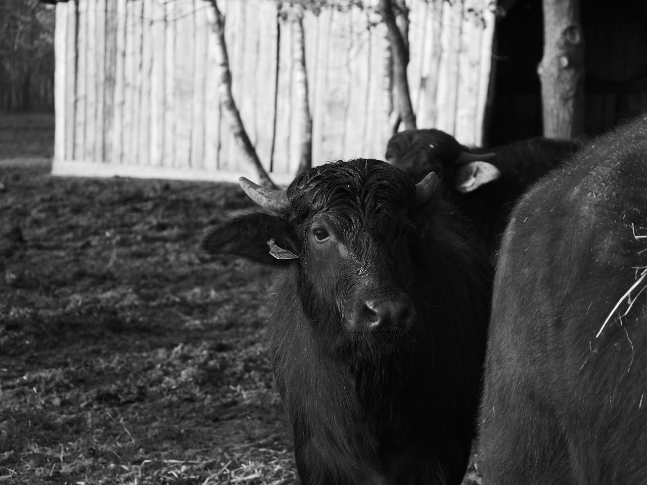 Animal Head  Animal Themes Blackandwhite Domestic Animals Looking At Camera Mammal Nature No People One Animal Outdoors Portrait Schwarzweiß Wasserbüffel Water Buffalo