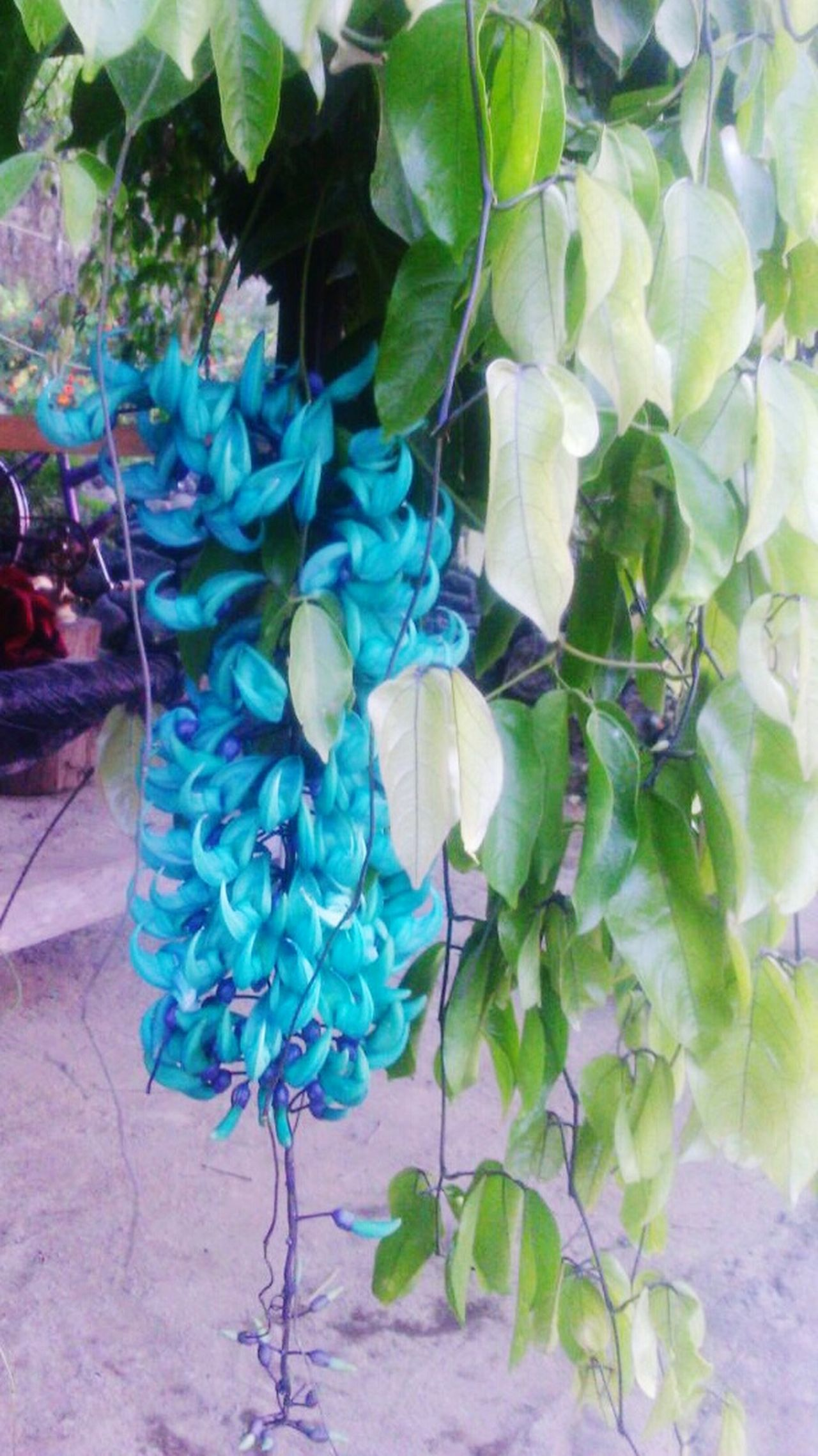 Plant Multi Colored No People Leaf Outdoors Day Flower Close-up Nature thumbergia jade Guatemala Antigua, Guatemala