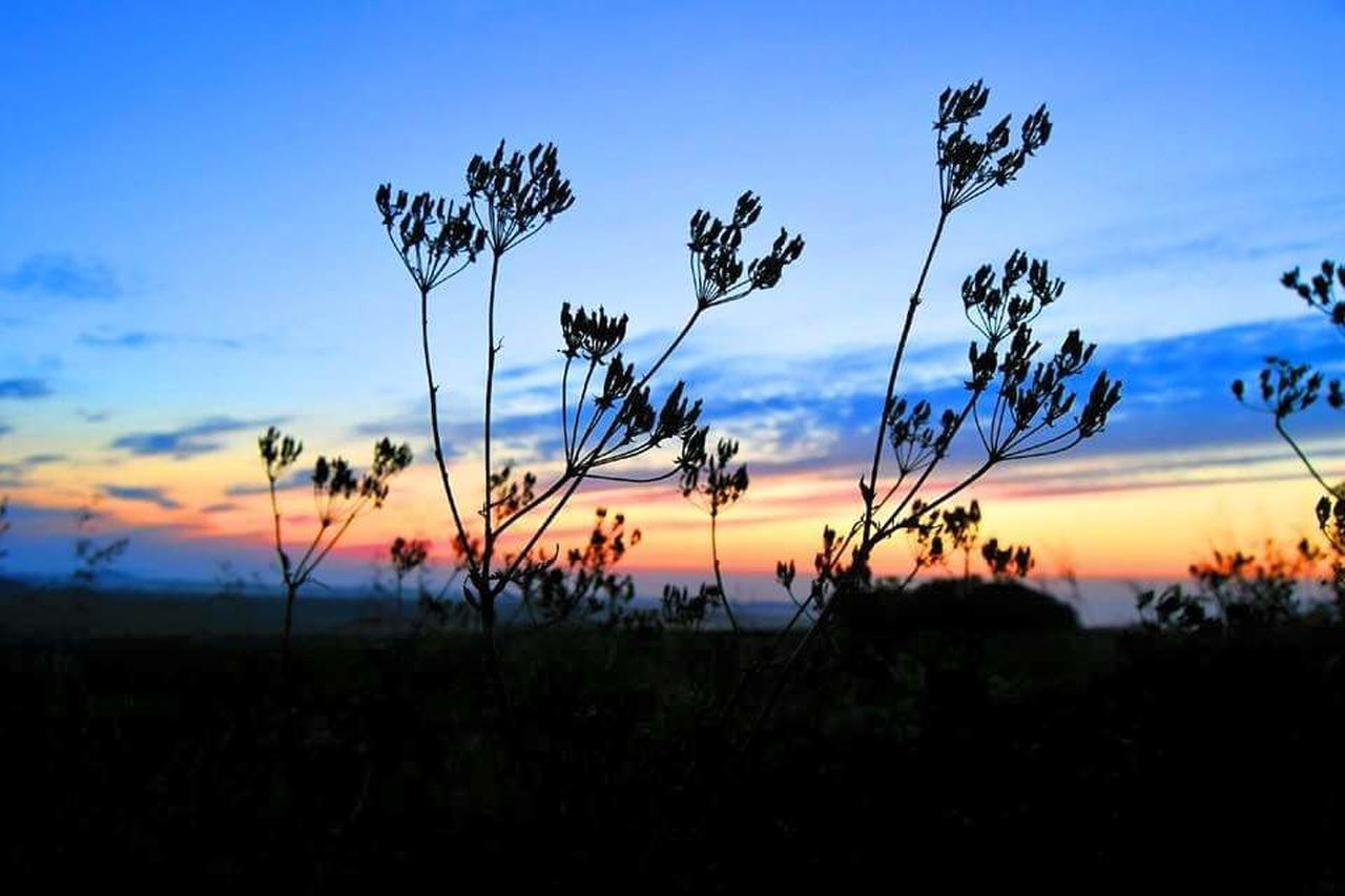 nature, growth, sky, beauty in nature, plant, tranquility, tranquil scene, sunset, silhouette, field, scenics, no people, outdoors, landscape, blue, tree, day