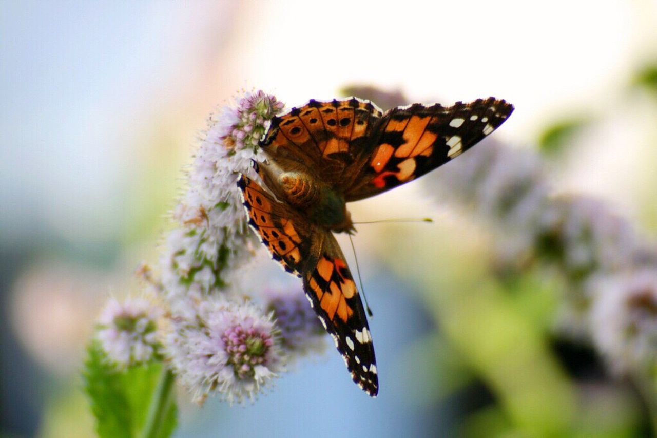 butterfly - insect, insect, animals in the wild, animal themes, one animal, butterfly, no people, nature, close-up, fragility, day, flower, outdoors, growth, animal wildlife, plant, pollination, beauty in nature, freshness, animal markings, perching, spread wings, flower head