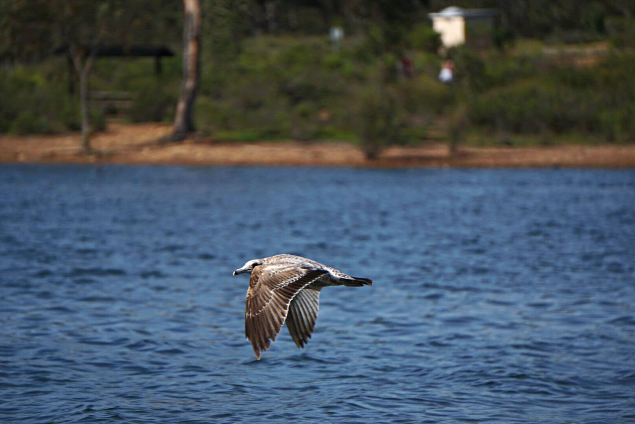 one animal, animals in the wild, water, animal wildlife, animal themes, bird, nature, waterfront, focus on foreground, day, spread wings, no people, outdoors, lake, flying, beauty in nature, close-up