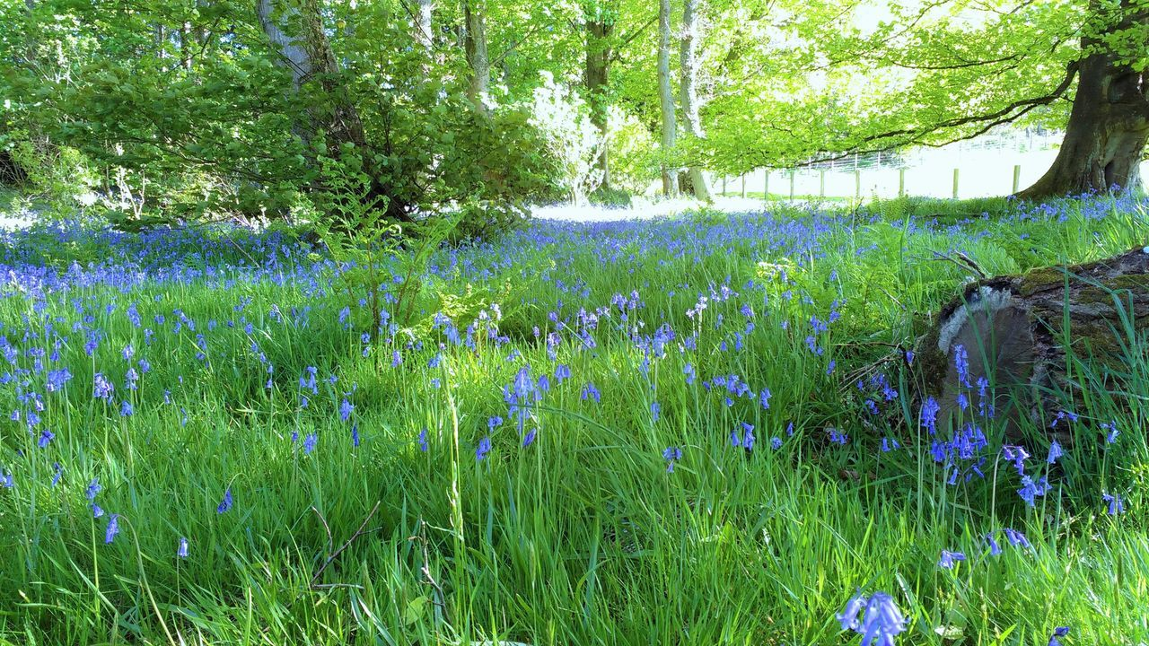 Bluebell Wood Bluebells Flowers Forest Grass Nature Plant Scotland Springtime Sunlight Tranquil Scene Woods