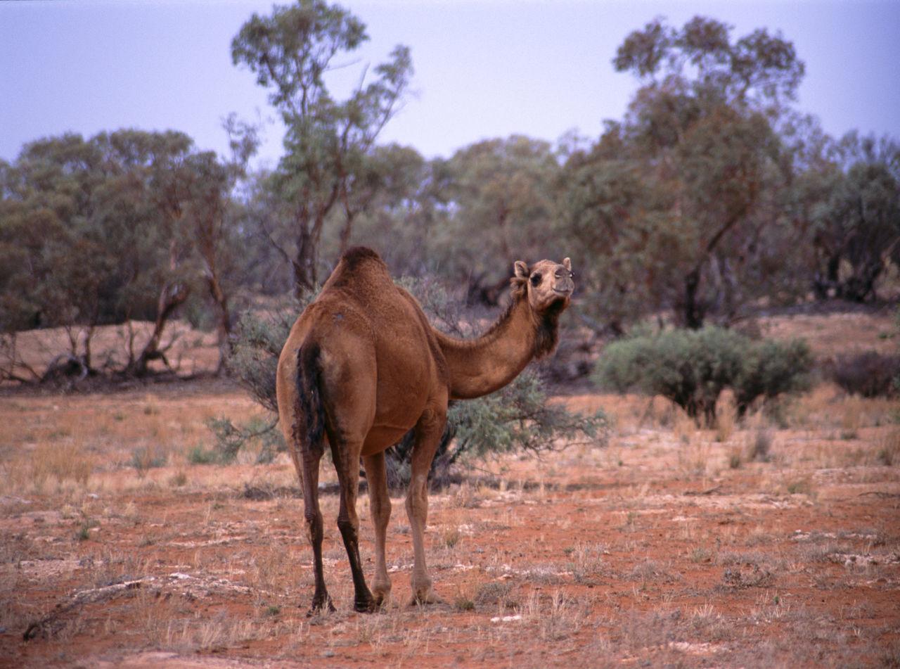 feral camel, outback australia Animal Animal Themes Australia Bush Camel Dromedary Dry Hump Imported Legs Northern Territory One Animal One Hump Red Centre Roam Semi Dessert Single