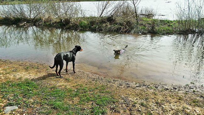 With The Right Friend The Water is Not Cold 😊 This Year's First Bath Two Big Dogs Playing And Swimming Dogs At The Lakeshore Water Reflections Telling Stories Differently Fun At The Lake Pets NatureJolie And Friends Germany🇩🇪