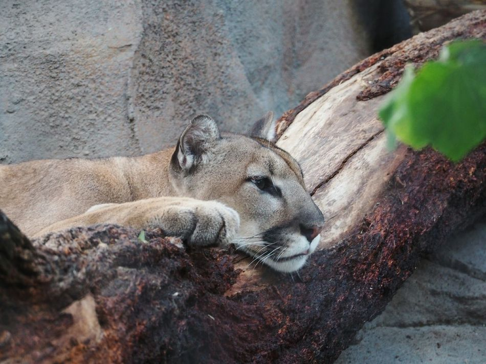 Beautiful stock photos of puma, Animal Themes, Animal Wildlife, Animals In The Wild, Day