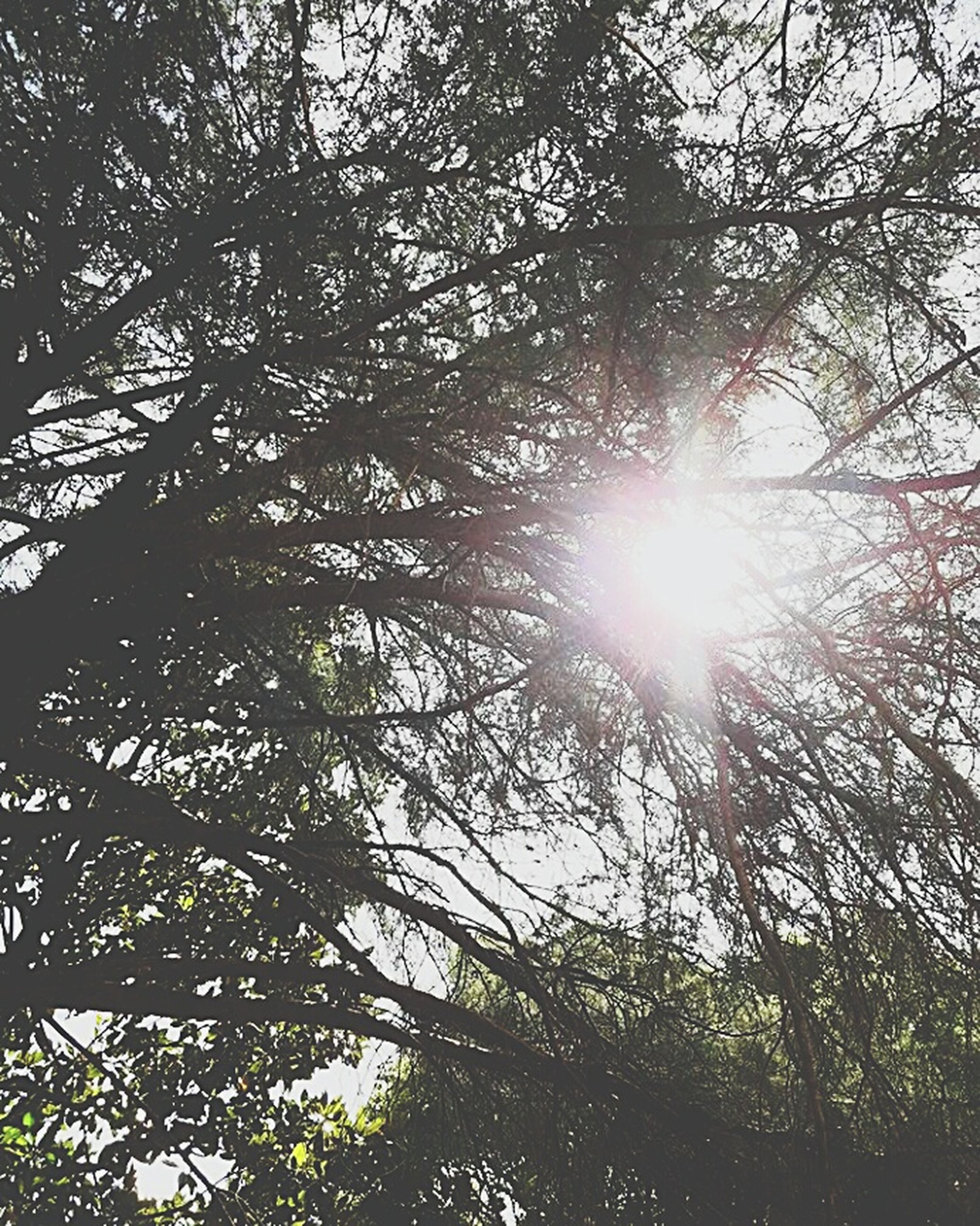sunbeam, lens flare, tree, sunlight, low angle view, sun, nature, branch, day, bright, outdoors, no people, growth, forest, beauty in nature, brightly lit, tranquility, sky