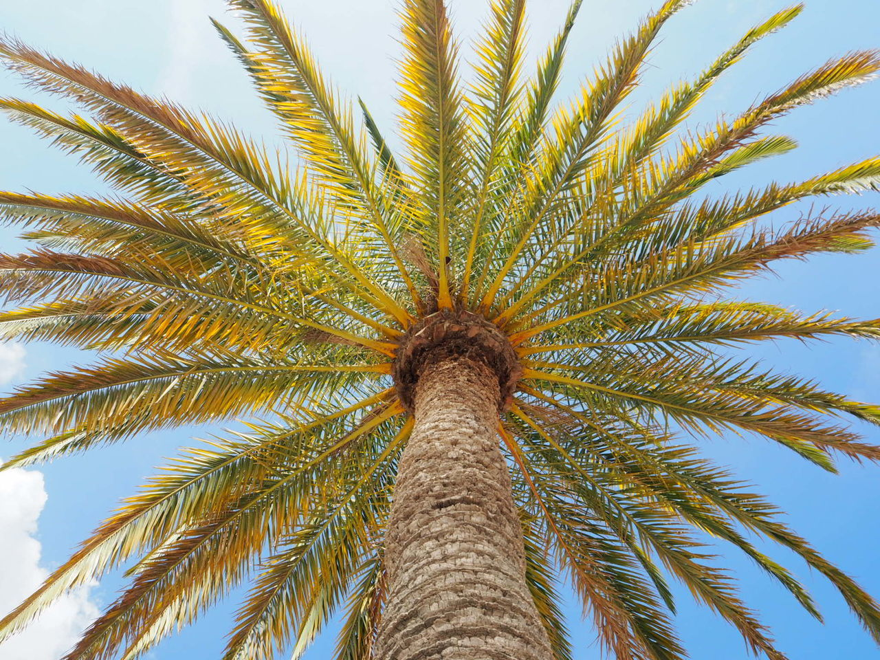 Summer in Paris - you wouldn't believe that this is in the Jardin de Luxembourg in Paris and not on the Fidjis. Palm Tree Tree Low Angle View Growth Nature No People Sky Outdoors Tree Trunk Beauty In City France Paris Welcomeweekly EyeEmNewHere Nature In Paris Jardin Du Luxembourg Summer Sunshine EyeEmNewHere Background Wallpaper
