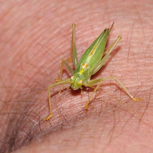 A little girl visited me :) Longhornedgrasshopper Langf ühlerschrecke Insect Insekt animal tier allnatureshots animazing_nature igers igs_photo instagood insta_crew