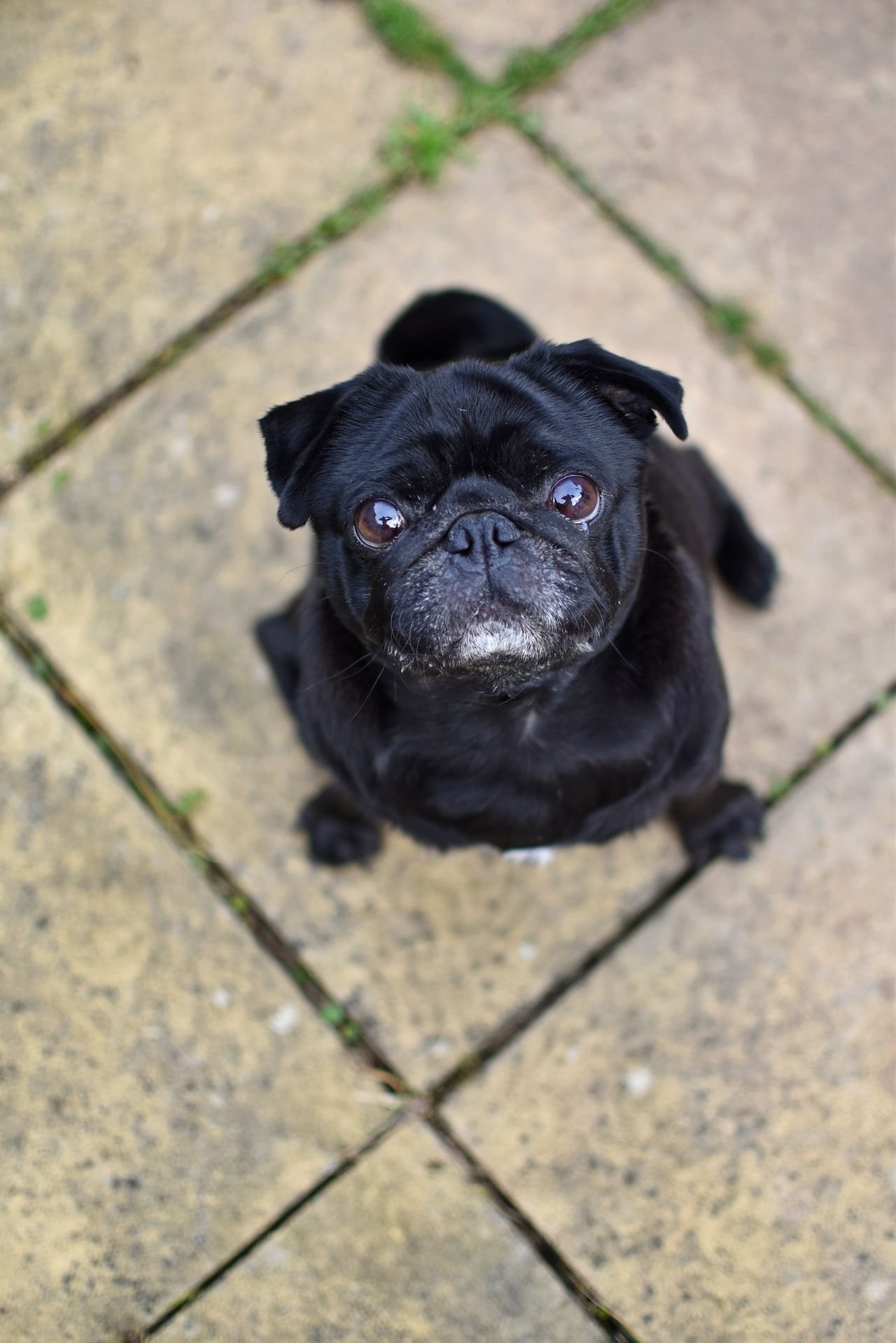 Beautiful stock photos of pugs, Animal Themes, Black Color, Day, Dog