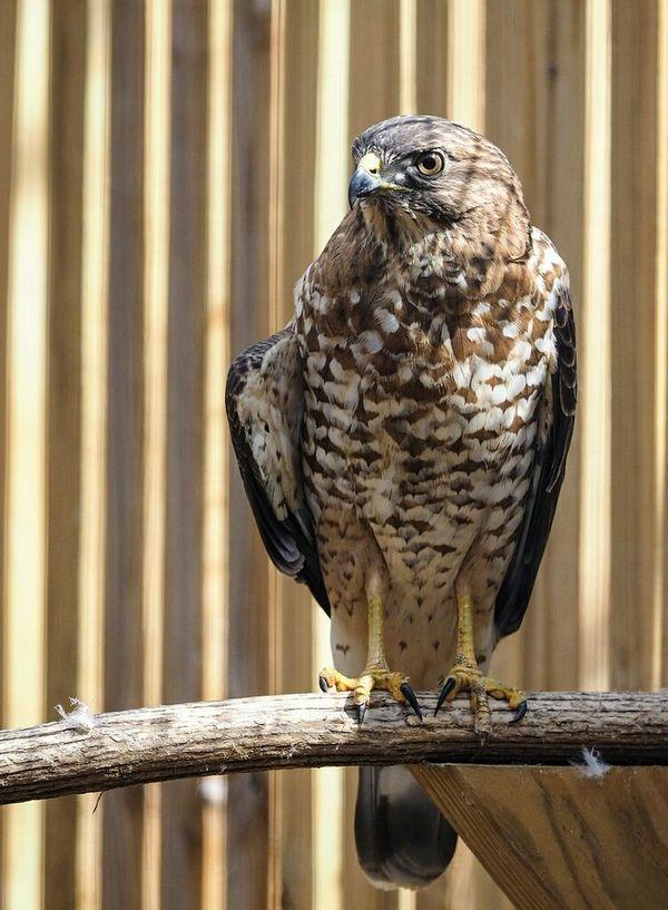 Raptor Bird Olympus OM-D EM-1 40-150 Falcon