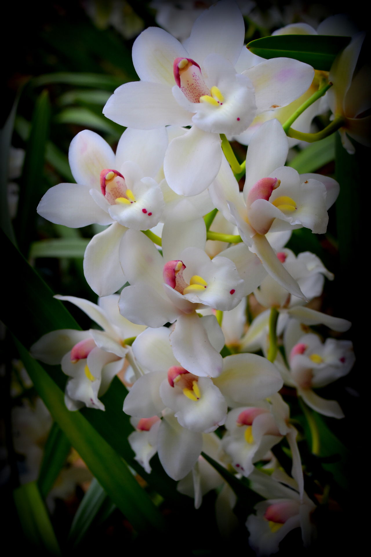 Beauty In Nature Blooming Close-up Flower Flower Head Fragility Freshness Growth Nature No People Orchid Orchid Blossoms Orchid Flower Orchids Orchids By Jj Petal Plant White