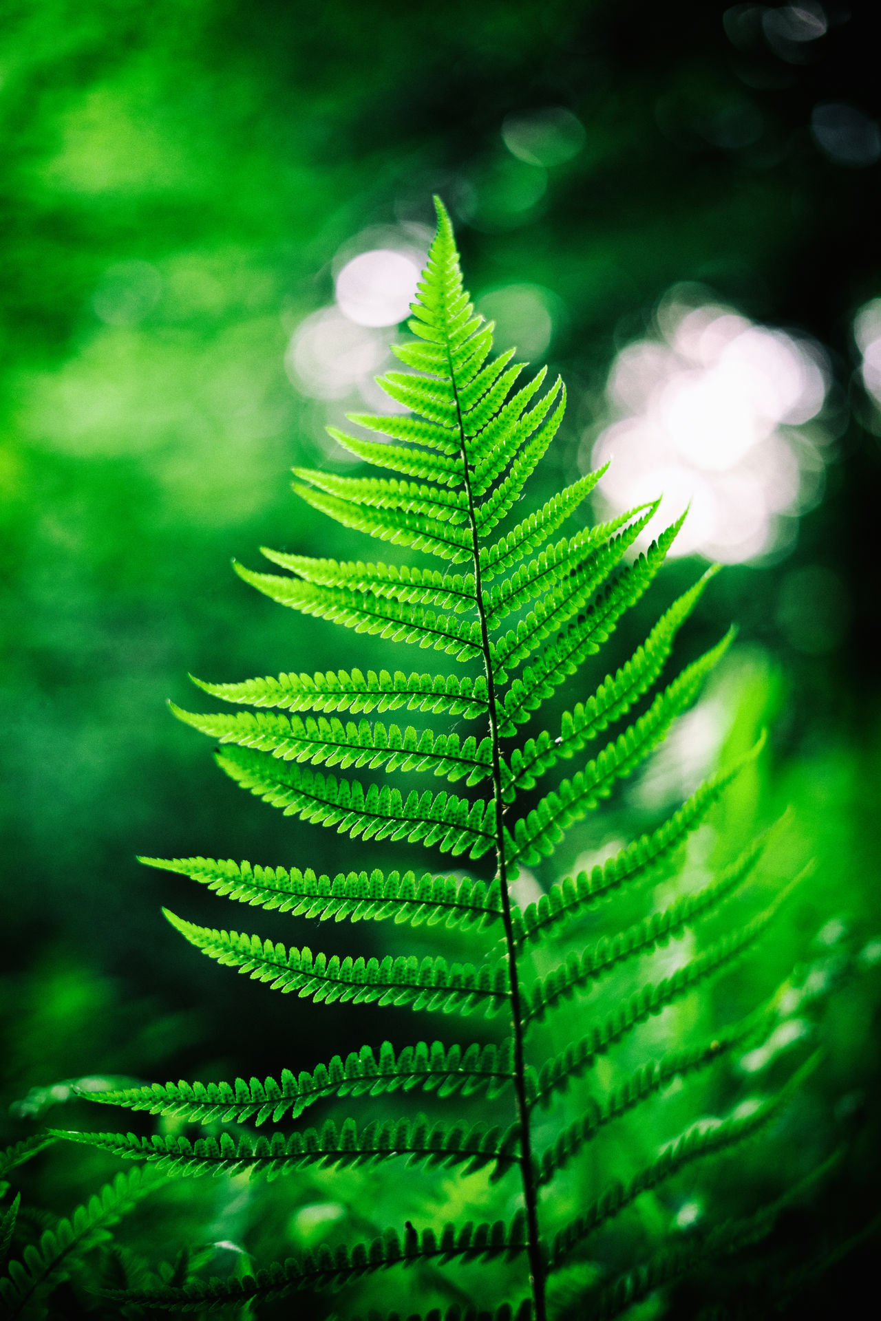 Beauty In Nature Close-up Day Fern Focus On Foreground Forest Freshness Green Green Color Growth Leaf Nature No People Outdoors Plant Selective Focus