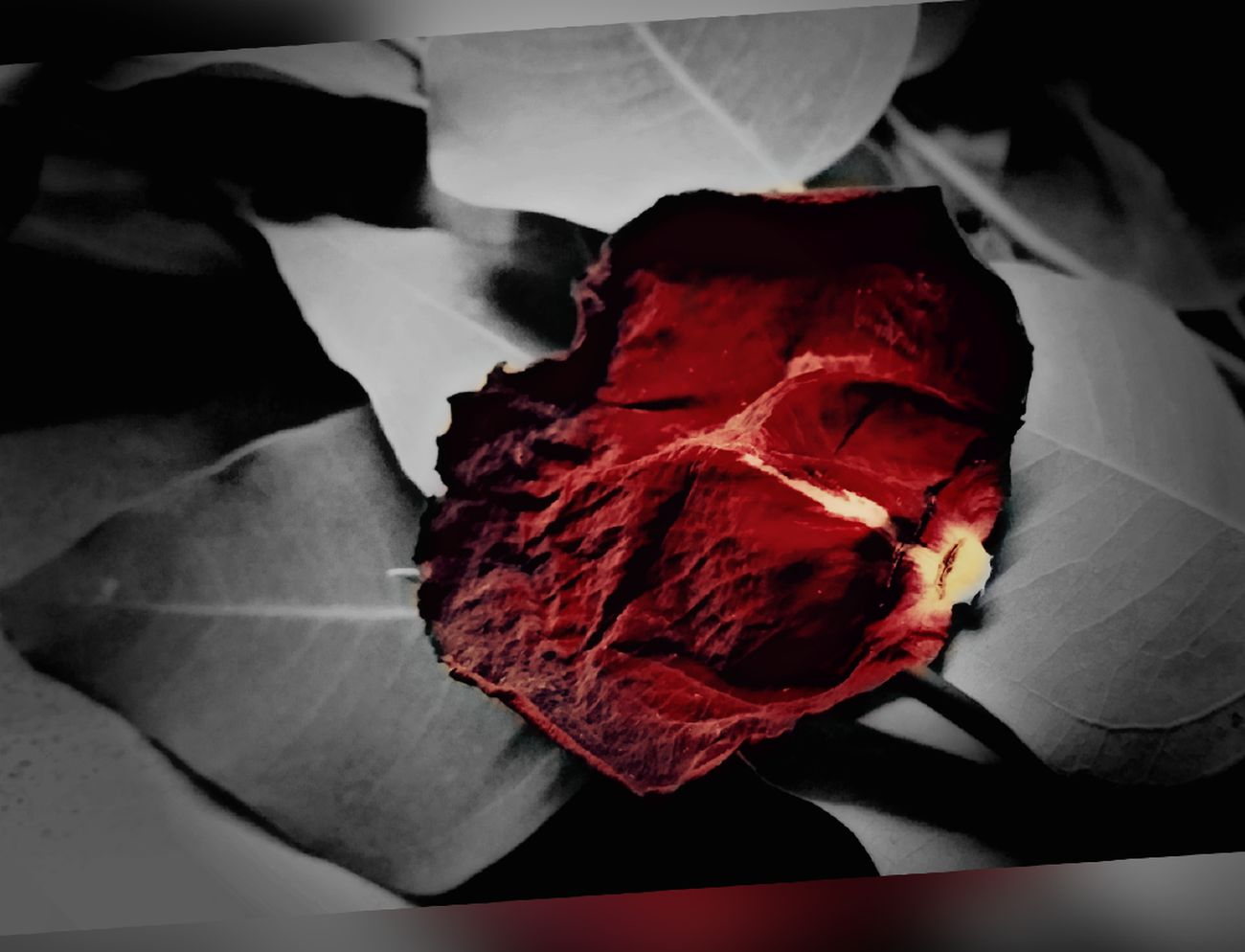 Bleeding Red Leaf Veins Free Falling No People AMPt - Still Life (Nature Morte) StillLifePhotography OneLove The Sound Of Silence Creative Editing Black And White With A Splash Of Colour EyeEm Bnw For The Love Of Black And White Beauty Is In The Eye Of The Beholder FocusOn
