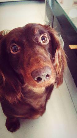 Cute Pets Dachshunds Puppy Love I Love My Dog Doglover Dachshund Sausagedog Dachshundloversclub My Little Puppy Dog