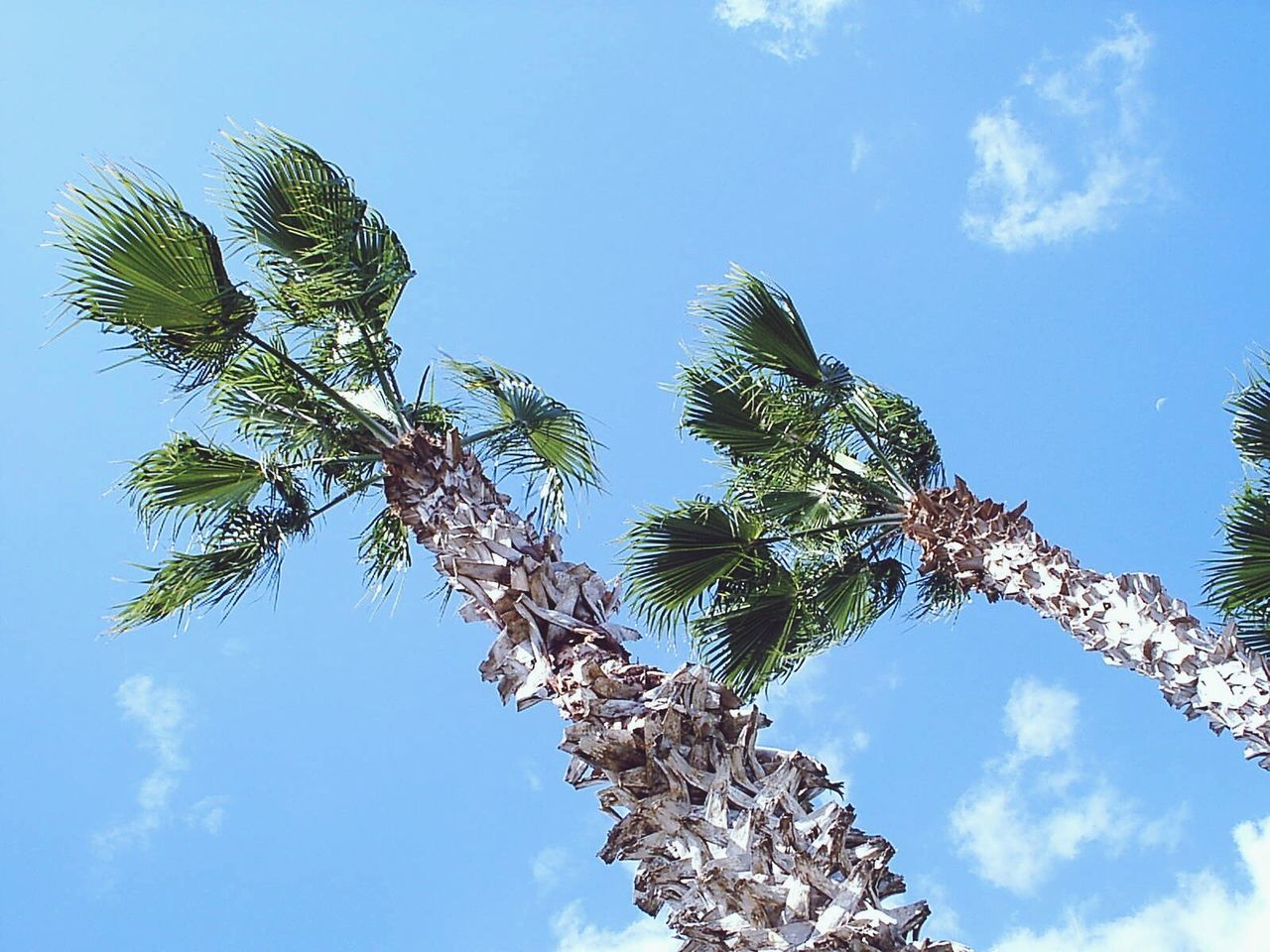 low angle view, tree, sky, nature, growth, beauty in nature, day, blue, branch, outdoors, no people, tranquility, cloud - sky, scenics, palm tree, flower, freshness